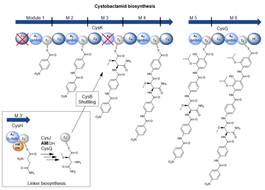 Cystobactamid biosynthesis scheme
